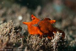BD-140325-Dumaguete-3845-Antennarius-pictus-(Shaw.-1794)-[Painted-frogfish].jpg